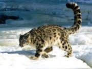 Снежный барс. Фото с сайта РГО